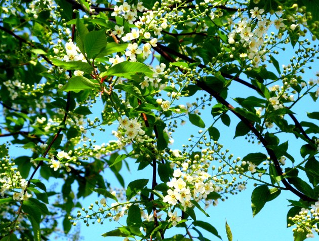 Chokecherry Tree, May 2008_2